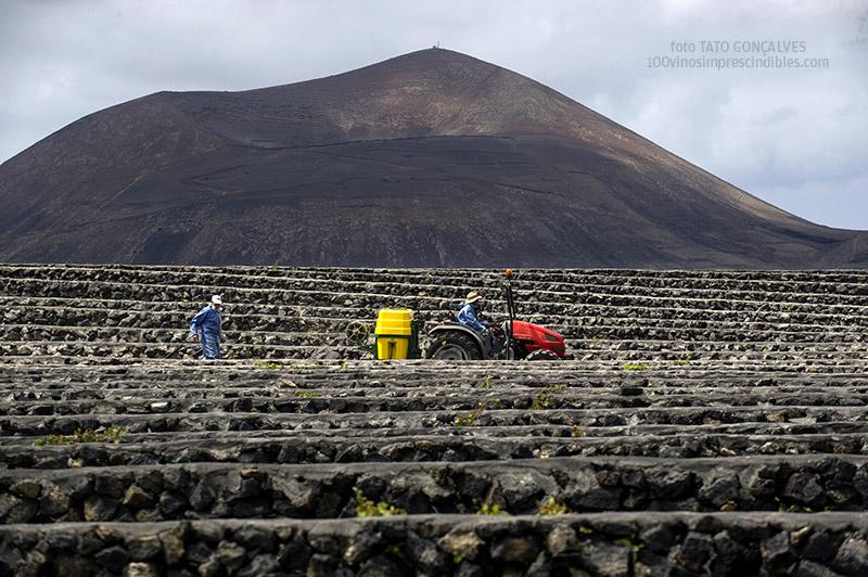 Laboreo con tractor en la viña, protegida del viento por paredes de piedra./ Foto T. GONÇALVES