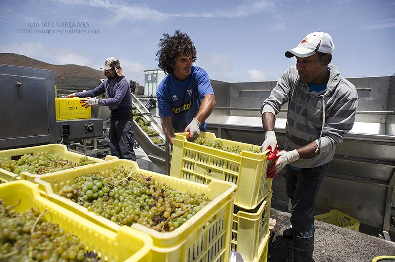 Recepción de la uva durante la vendimia./ Foto T. GONÇALVES